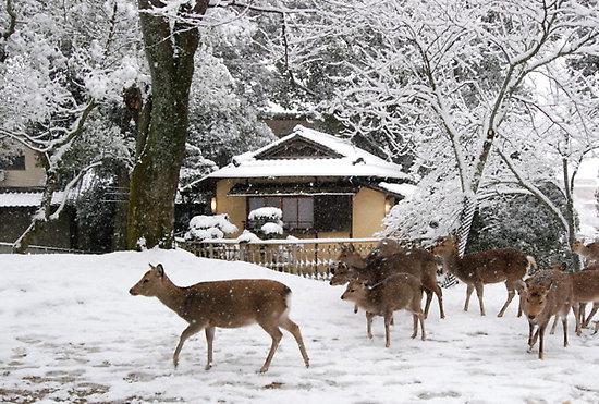 Kota-Nara-Musim-Dingin-dan-Rusa