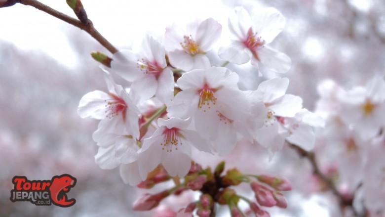 cropped-sakura-di-jepang.jpg