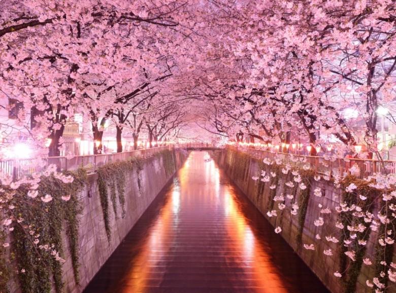 inilah-10-fakta-menarik-tentang-bunga-sakura-master-900x668