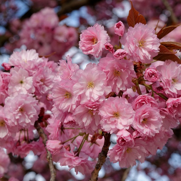 prunus-sato-zakura-kanzan-flowering-cherry-600x600